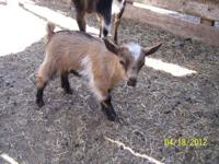 One Doe-$200 for sale. Born March 13th. These goats do