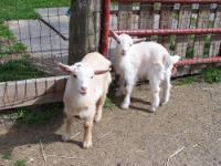 FOR SALE; BABY NIGERIAN DWARF GOATS TWIN DOES, BORN ON