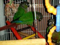 Hi! I have 4 Normal split blue-green green cheek conure