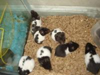 I have some baby panda bear hamsters available. They