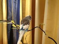 I have 1 sweet baby parakeet. It is a blue and white