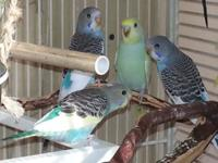 I have 5 stunning baby parakeets simply out of the