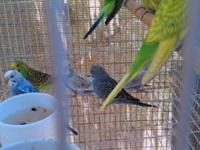 baby parakeets $8 ea. I WILL NOT HOLD FOR