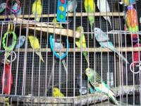 We have several very young parakeets for sale to