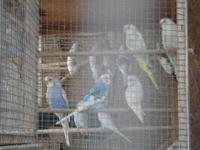 I have over 25 beautiful baby parakeets. Beautiful