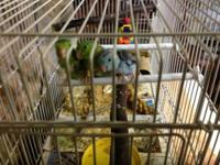 Cute, playful green and blue baby parrotlets. 4 female