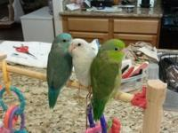 baby parrotlets, weaned and ready for homes. I have a 1
