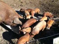 For sale 8 babypigs. Ready to go after the 18 of this