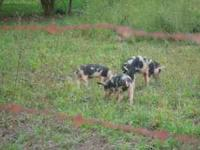 Feeder pigs for sale starting at $ 40.00 1 black and