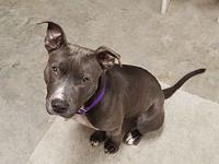 My story This absolutely precious blue Pit Bull is THE