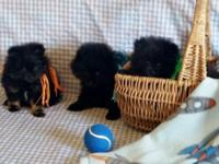 pomeranian puppies: 3 males available -9wks old., had