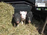 I have 3 baby potbelly pigs, a black and white female