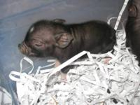 I have baby potbelly pigs available, they will require