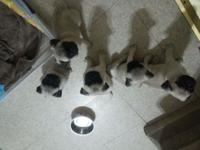 I have 5 light fawn male pug puppies readily available.