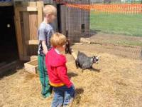 We are selling a baby Pygmy goat. He is a billy and he