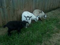 MALES $60.00 AND FEMALES $90 they are 3 months and are
