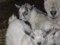 We have four adorable sweet pygmy goats for sale.
