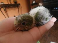 Cute baby Quaker Parrots available. Hand-Feeding. There