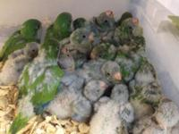 Hi I have 100 green baby Quakers available. 4-6 weeks