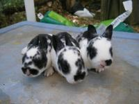 Babies and adults, lionheads, mini rex, and netherland