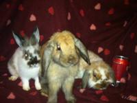 I have 3 male baby rabbits that need homes. 1-