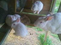 I have about 14 baby rabbits for sale. They are mixed