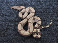 Very nice baby Redtail Boa Constrictors