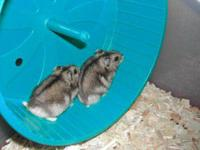 I have 7 baby Russian Dwarf hamsters and 2 adult