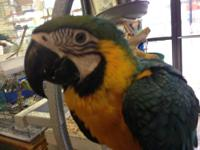 I have some baby macaws for sale. The Scarlet macaw is