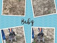 Baby's story Baby is a 5 year old Schnauzer mix looking