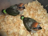 Baby Senegals are $600 each. Baby Meyers, Red Bellies,