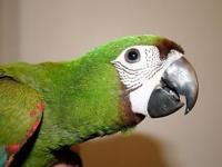 Beautiful baby severe macaw. DNA sexed female. Hand