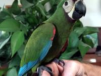 Baby female Severe (Chestnut-Fronted) Macaw for sale