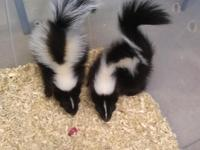 2 BLK & white females 1 champagne male descented and