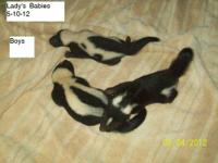 Domestic Baby Skunks available for adoption. Babies