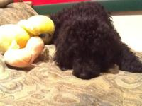 Baby Puppies, Standard Poodle Puppies- $500 champagne
