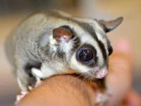 I have a 3week old oop adorable male sugar glider that