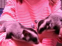 I have several baby Sugar Gliders available for sale.