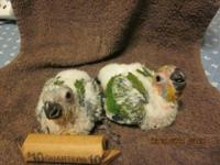 1 Male Sun Conure Hatched 5-30-12. 11 weeks old now