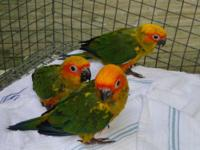Davis Aviary has 3 baby sun conures almost ready for
