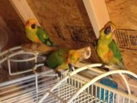 I have three baby Sun Conures forsale. These children