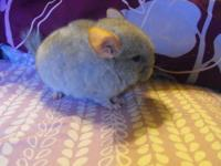We have 2 Tan baby chinchillas for sale. They are very