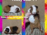 I have a couple baby Teddys currently available. The