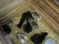 Turkey chicks, just hatched to 4 weeks old, $6.00 each.