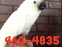 3 month old female umbrella cockatoo almost weaned