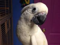 We have 1 lovely baby umbrella cockatoo that we are