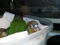 Hi! I have 2 Yellow sided green cheek conure children