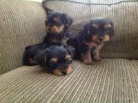 These puppies are 3/4 Yorkie 1/4 poodle, but you would