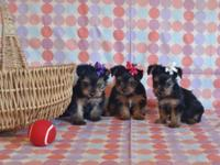 Baby.... YORKIE PUPPIES: 2 females available - 9wks.