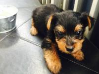 These adorable Yorkie pups are now ready for their